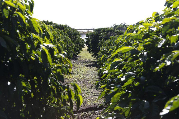 Plantação de Café