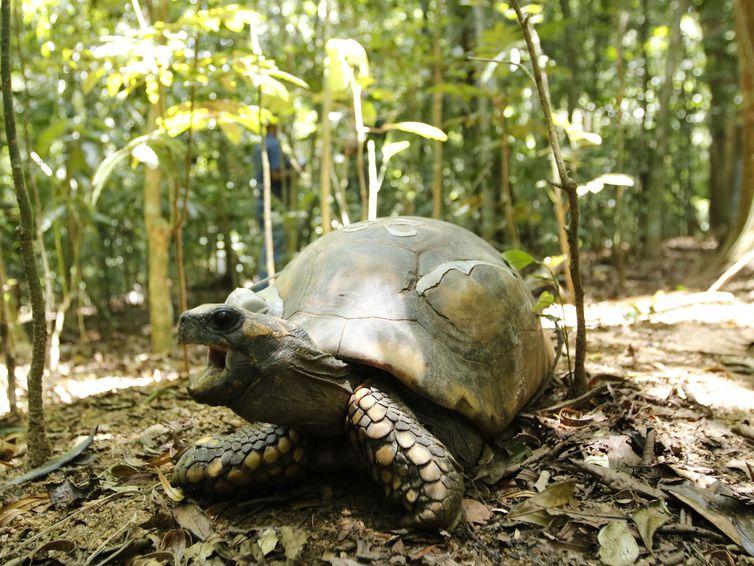 Jabutis-tinga são soltos no Parque Nacional da Tijuca após 200 anos extintos do local.