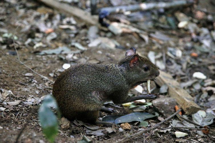 Oito cutias são soltas no Parque Nacional da Tijuca. A espécie foi escolhida por ser nativa e uma importante dispersora de sementes. O animal chega a enterrar os grãos para consumir depois, favorecendo a restauração florestal.