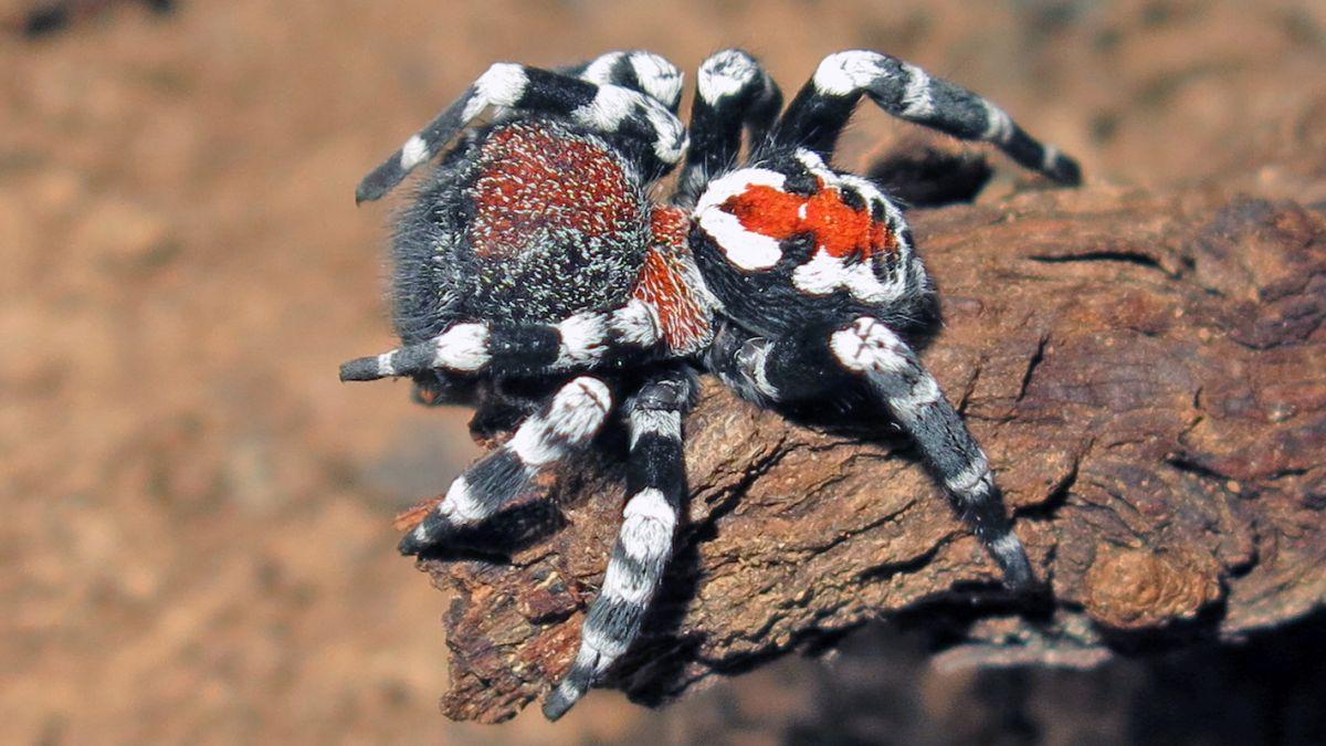 Nova espécie de aranha é igual ao Coringa de Joaquin Phoenix; confira - 1