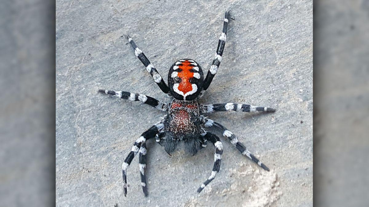 Nova espécie de aranha é igual ao Coringa de Joaquin Phoenix; confira - 2