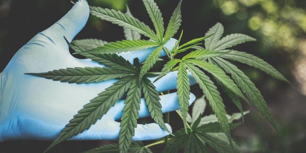 Estresse na pandemia | Pesquisa investigará os efeitos da cannabis em médicos - 2