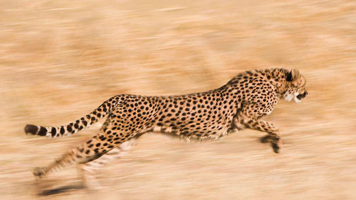 Ciência se inspira na aerodinâmica dos guepardos para criar robôs mais ágeis - 1