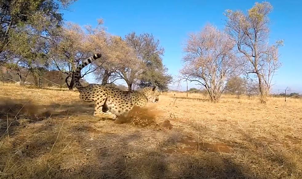 Ciência se inspira na aerodinâmica dos guepardos para criar robôs mais ágeis - 3