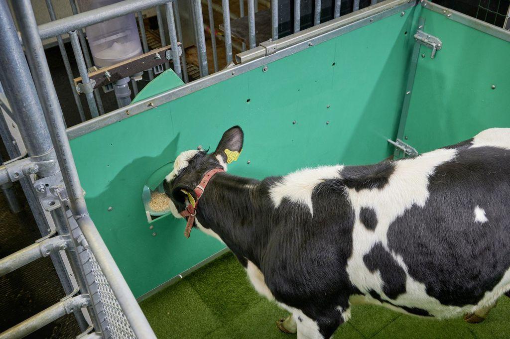 Vacas treinadas para